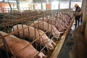Cục Chăn nuôi: Giá lợn tăng không phải do xuất siêu sang Trung Quốc