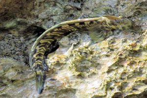 Điểm mặt những loài cá 'sợ' nước trên thế giới