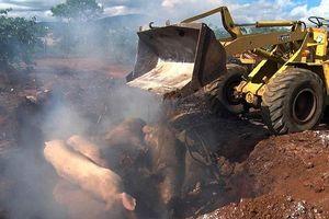 Lâm Đồng thiệt hại gần 160 tỷ đồng do dịch tả lợn châu Phi