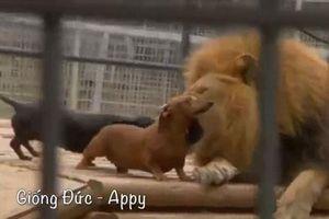 CLIP: Chó vào chuồng sư tử 'dạo chơi' và cái kết cực kỳ khó tin