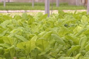 Hà Nội: Ăn nên làm ra nhờ trồng rau thủy canh
