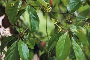 Sự thật 'choáng' cây vù hương quý hiếm của Việt Nam
