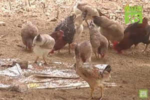 Hà Nội: 'Phất' lên nhờ nuôi gà đồi sạch