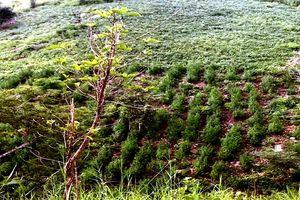 Tìm chủ nhân hơn 2.000 cây cần sa được trồng ven suối