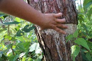 Hàng trăm cây thông ở Đắk Nông bị đầu độc, Thủ tướng yêu cầu báo cáo