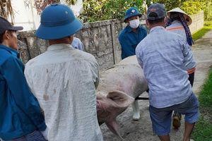 Nghệ An tiêu hủy hơn 66 nghìn con lợn nhiễm dịch tả
