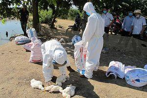 Kon Tum: Tiêu hủy hơn 1.000 con gà mắc cúm A/H5N6