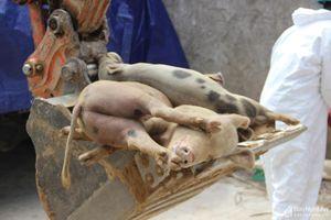 Tiêu hủy trên 161 tấn lợn trong một ngày ở Nghệ An