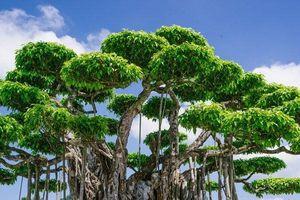 Cận cảnh siêu cây cảnh trị giá 460 tỷ đồng