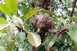 Sự thật 'choáng' về cây bí kỳ nam có ở Việt Nam
