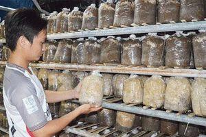 Quảng Nam: 9X khởi nghiệp bằng HTX trồng nấm