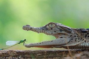 Kịch tính chuồn chuồn kim thám hiểm hàm cá sấu