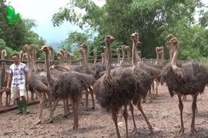 Hà Nội: 'Tay trắng' trở thành tỷ phú nhờ nuôi loài chim không biết bay