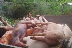 Quảng Bình: Dịch tả lợn châu Phi có nguy cơ bùng phát trên diện rộng