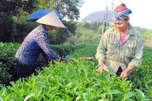 Sản lượng chè xanh của Việt Nam đứng thứ 2 thế giới, chỉ sau Trung Quốc