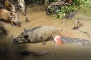 CLIP: Du khách giúp cá sấu đoạt mạng lợn rừng