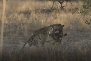 CLIP: Báo hoa mai cướp mồi của linh cẩu rồi leo lên cây chạy trốn