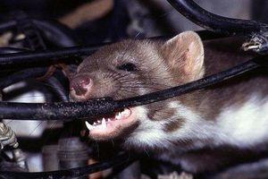 Chuột chui vào ôtô - không để ý có thể mất tiền triệu