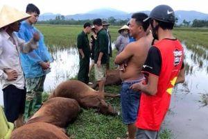 Một người nguy kịch, 6 con bò chết do sét đánh