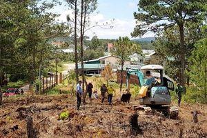 Trồng lại rừng thông trên đất rừng bị lấn chiếm trái phép