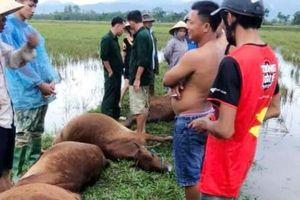 1 người nguy kịch, 6 con bò bị chết vì sét đánh