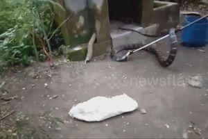 Rùng mình cảnh rắn hổ mang chúa dài gần 5 mét trốn trong nhà vệ sinh