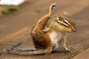 Ngộ nghĩnh cảnh sóc chuột nhỏ tập yoga