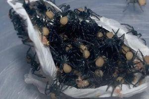 Rùng mình khoảnh khắc hàng trăm con nhện cực độc chui ra khỏi bọc trứng