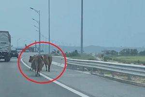Đàn bò thả rông ung dung đi trên cao tốc Hải Phòng - Quảng Ninh