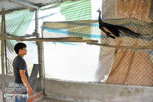 Trang trại chim công, đà điểu trên đất Tây Đô