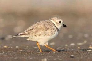 Chim choi choi sử dụng chiêu độc khiến con mồi tự đội cát ngoi lên nạp mạng