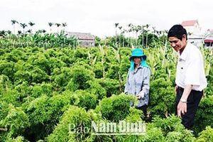 Nam Định: Trồng 12.000 gốc đinh lăng, thu 200 tấn, lãi 300 triệu/năm