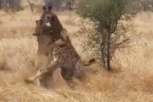 CLIP: Sư tử đoạt mạng hươu cao cổ trong tích tắc