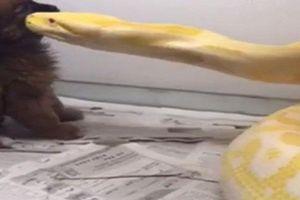 Kinh hoàng cảnh tượng trăn vàng nuốt chửng chó