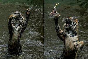 Ấn tượng khoảnh khắc hổ đói bắt thức ăn trong vườn thú