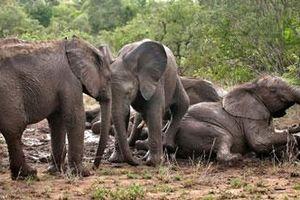 Mãn nhãn ngắm gia đình voi tắm bùn đầy náo nhiệt