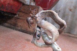 Rùng mình với cảnh nhện giăng bẫy bắt rắn nâu độc