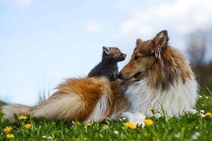 Cuộc sống hạnh phúc của cặp mẹ chó con cáo