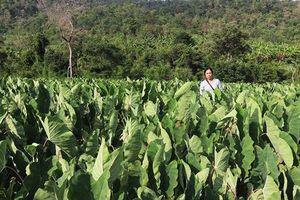 Gia Lai: Lãi hơn 100 triệu/ha, nhiều người phá mía trồng khoai môn