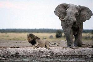 Voi con lạc đàn thành bữa tiệc cho bầy sư tử háu đói