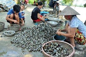 Hà Nội: 'Làm giàu' từ 'kẻ thù' của nhà nông