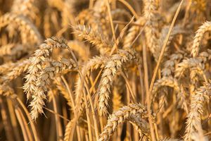 Giá lúa mì gần chạm mức cao nhất trong 3 tháng trở lại đây