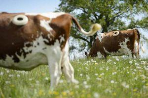 Trang trại kỳ lạ, đục lỗ trên thân các con bò để sống khỏe hơn