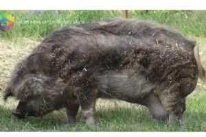 Khám phá những đứa 'con lai' kỳ dị nhất trong thế giới động vật: Lợn tóc xoăn