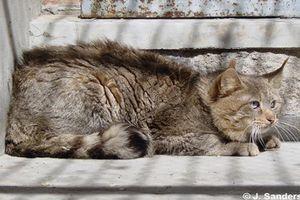 Khám phá thú vị loài mèo quý hiếm, đặc hữu của TQ
