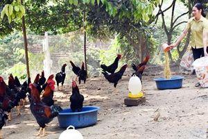 Lào Cai: Có của ăn của để nhờ nuôi giống gà lạ đẹp như tranh vẽ