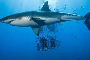 Cá mập trắng bất ngờ tấn công lồng bảo hộ có du khách bên trong