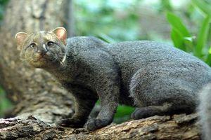 Khám phá 'choáng' loài mèo ăn tạp, thích sống... trên cây