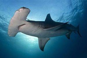 Vén màn bí ẩn: Cá mập đầu búa có cái 'búa' để làm gì?