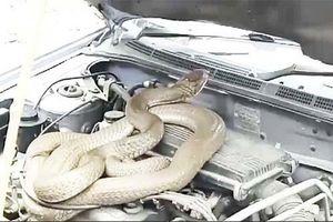 Tá hỏa phát hiện rắn hổ mang chúa trốn trong động cơ xe